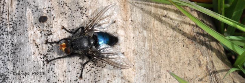 """Mouche peche """"De plumes et d'acier"""" Calliphora vomitoria: Mouche bleue"""
