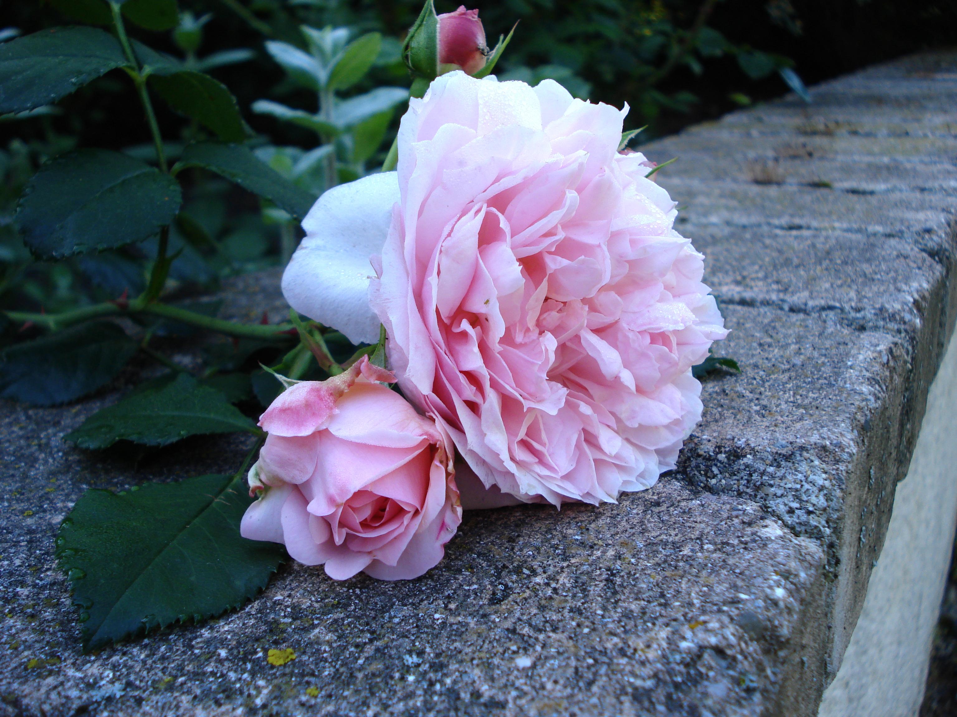 """Mouche peche """"De plumes et d'acier"""" Rose DELBARD Comtesse de Ségur"""