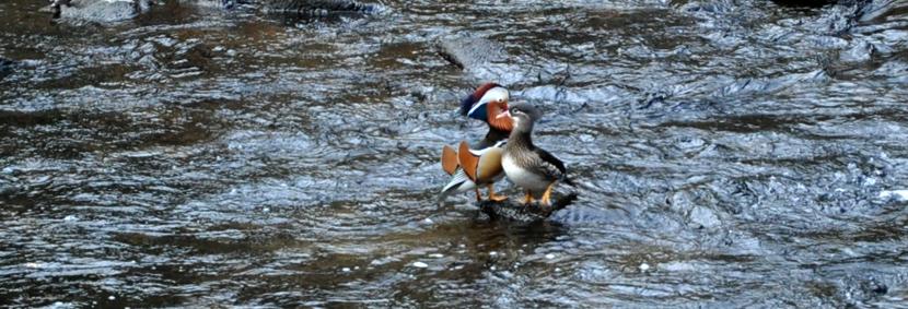 """Mouche peche """"De plumes et d'acier"""" Canards Mandarin...des Vosges!"""