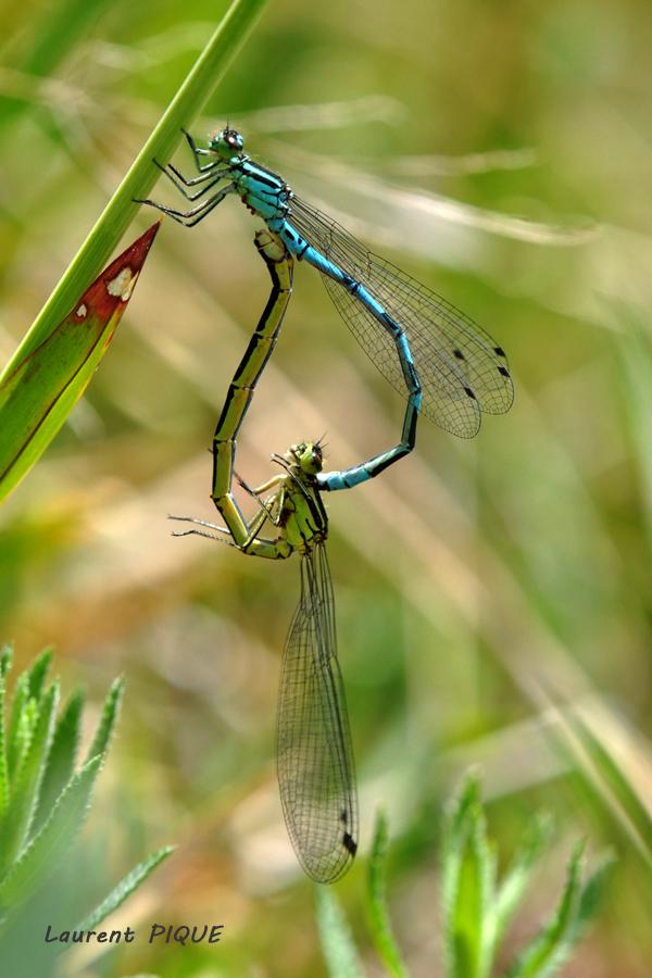 """Mouche pêche """"De plumes et d'acier"""" Les agrions du lac de Charpal"""
