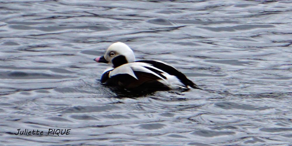 Terre d'Islande 8 Canard de Miquelon ou Halerde Boréal1