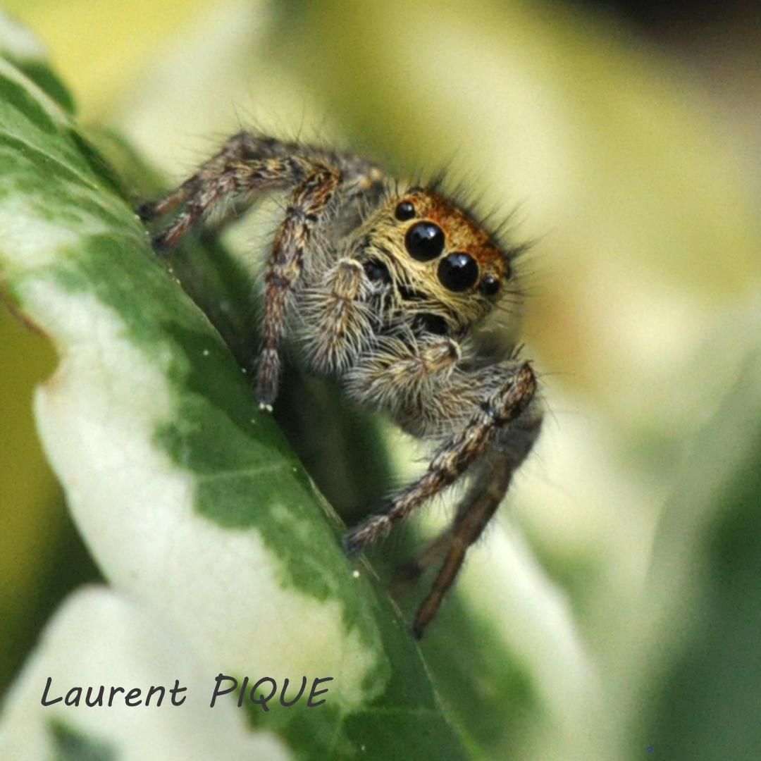 """Mouche êche """"De plumes et d'acier"""" Une petite araignée curieuse..."""