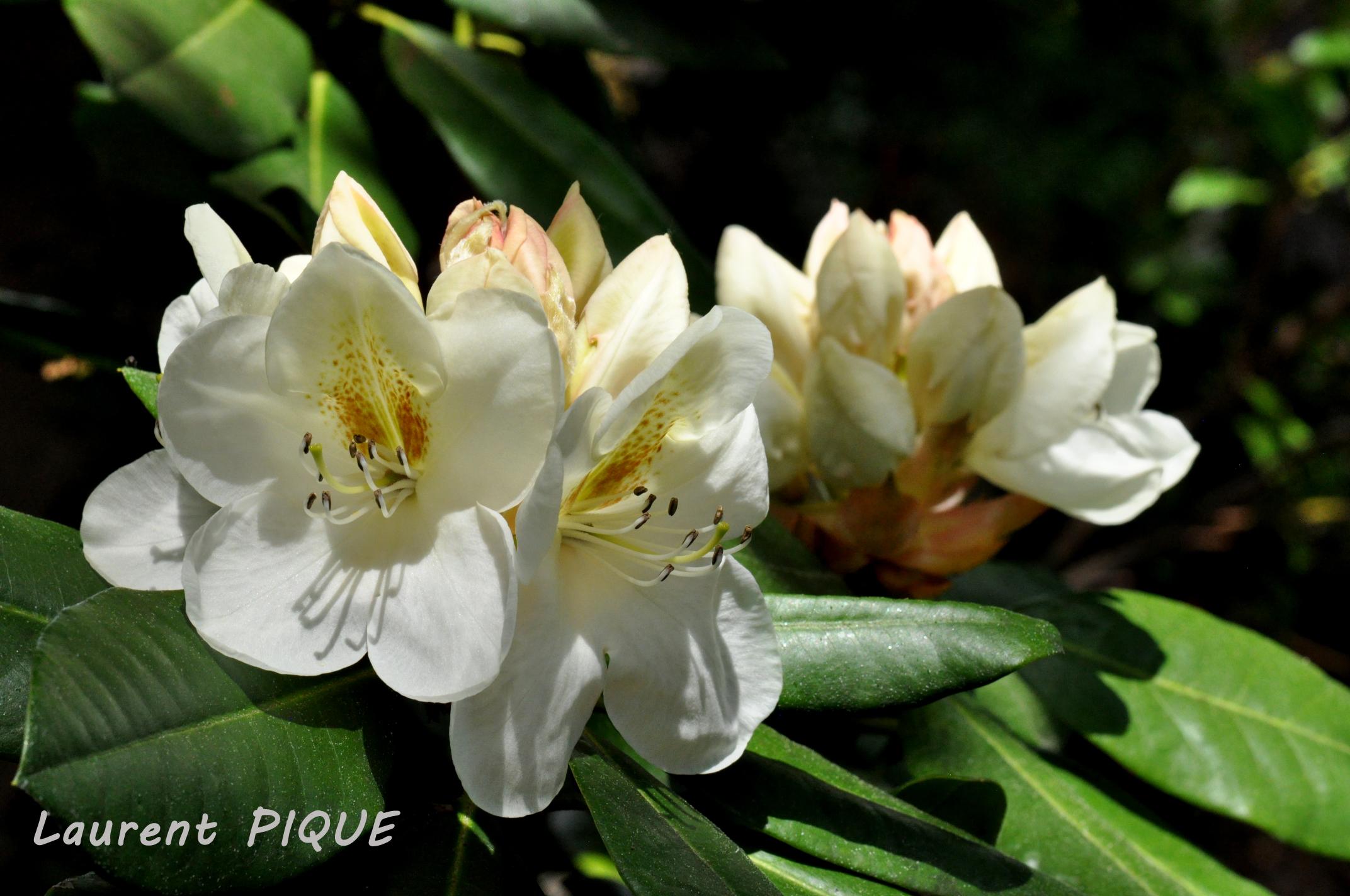 """Mouche pêche """"De plumes et d'acier"""" Rhododendrons"""