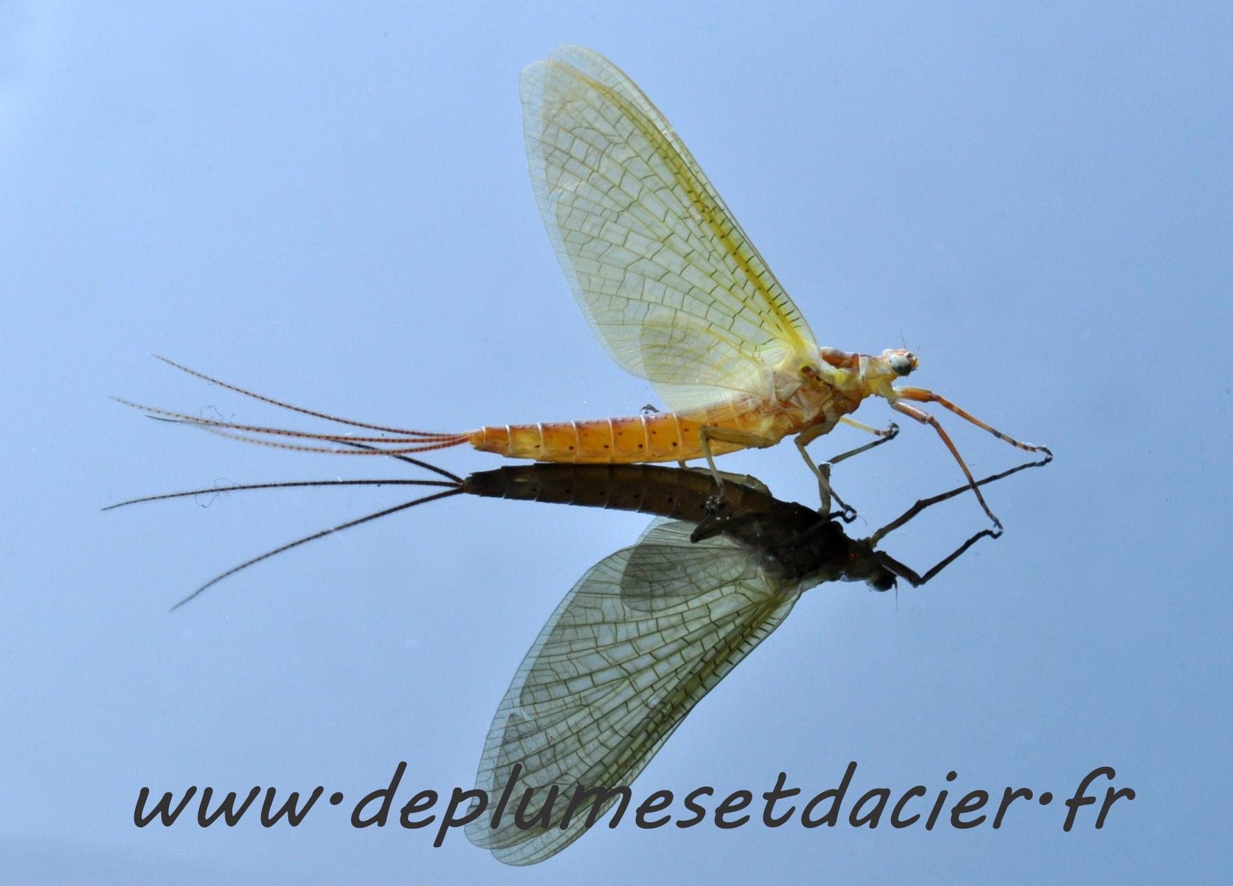 """Mouche pêche """"De plumes et d'acier"""" Potamanthus Luteus femelle Acte 1"""