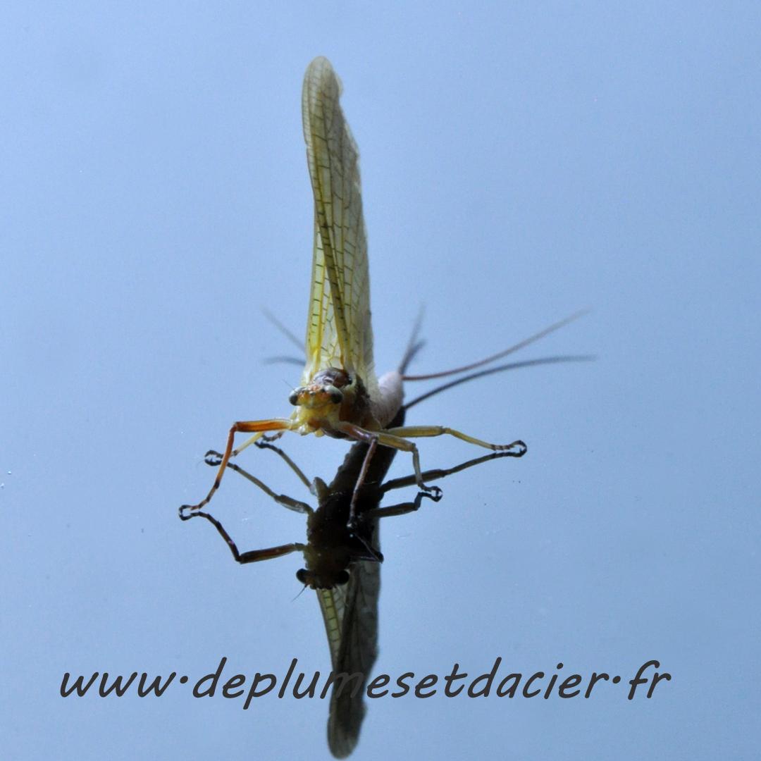 """Mouche pêche """"De plumes et d'acier"""" Potamanthus Luteus femelle acte 2"""