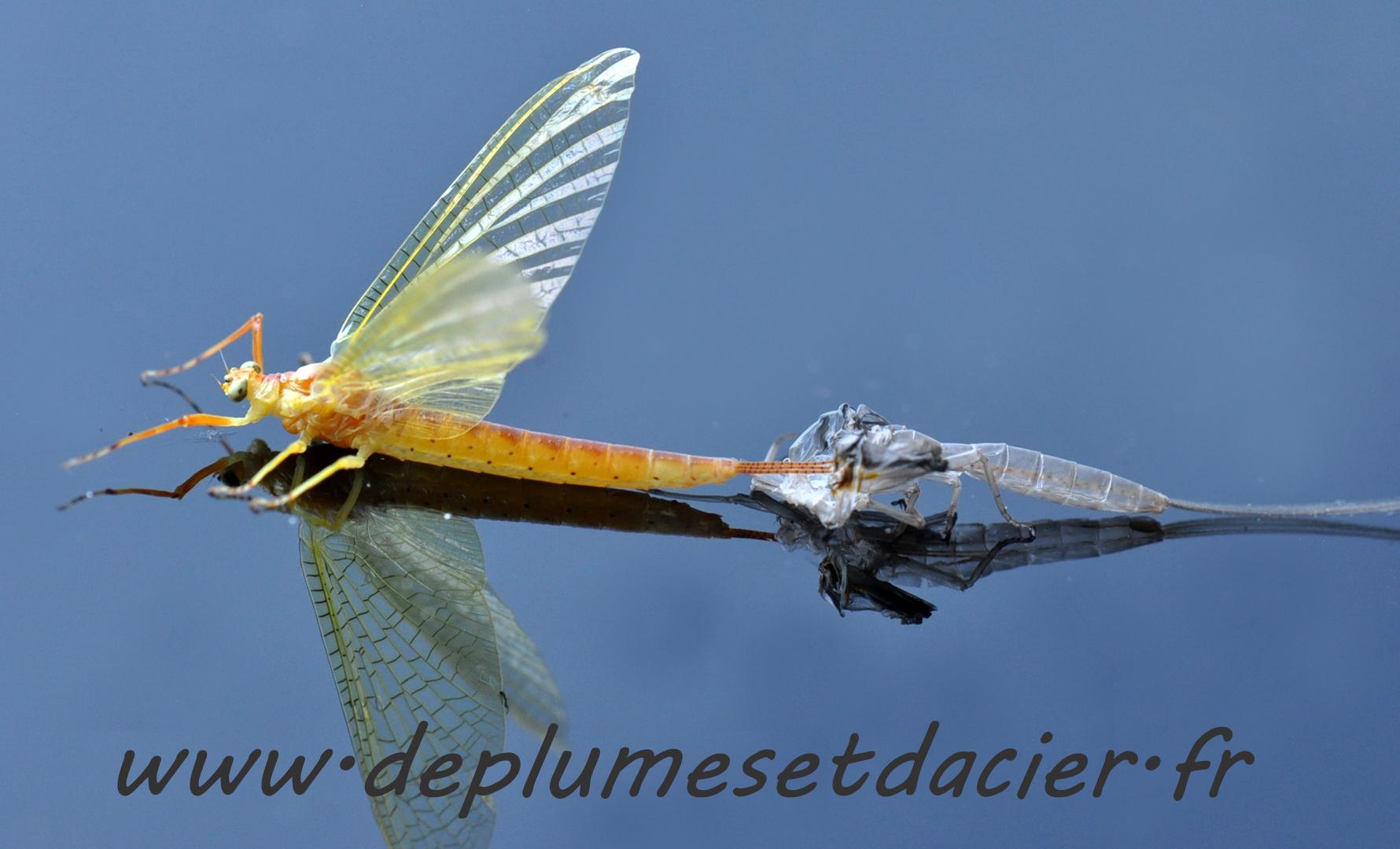 """Mouche pêche """"De plumes et d'acier"""" Potamanthus Luteus acte 10"""
