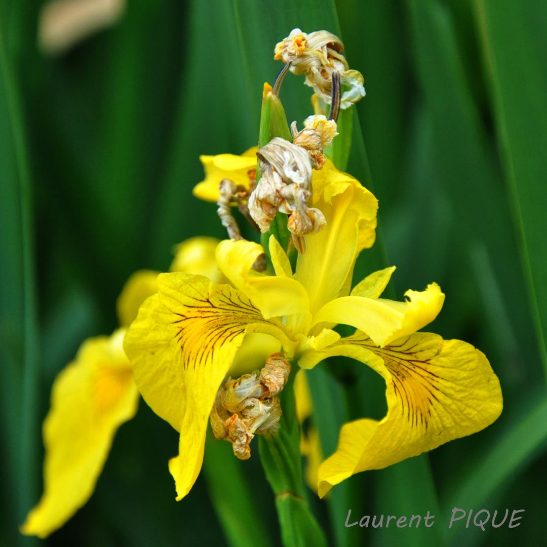 """Mouche pêche """"De plumes et d'acier"""" Iris des Marais"""