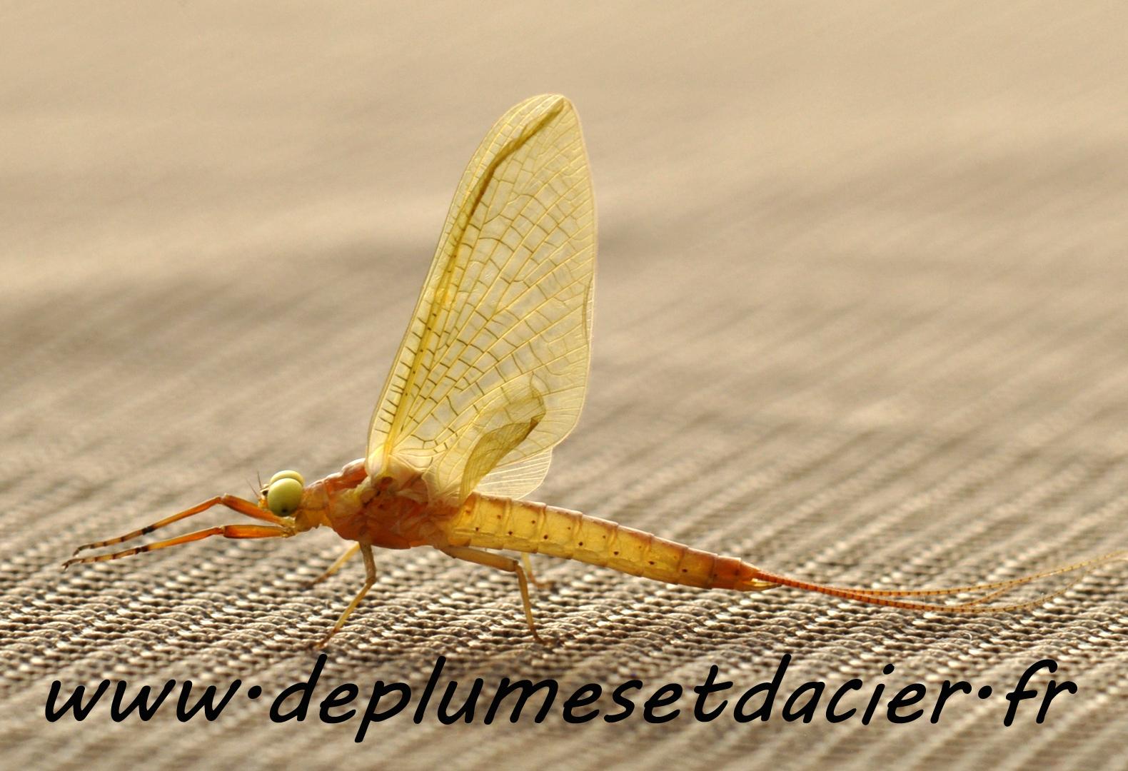 """Mouche pêche """"De plumes et d'acier"""" Potamanthus Luteus Subimago mâle"""