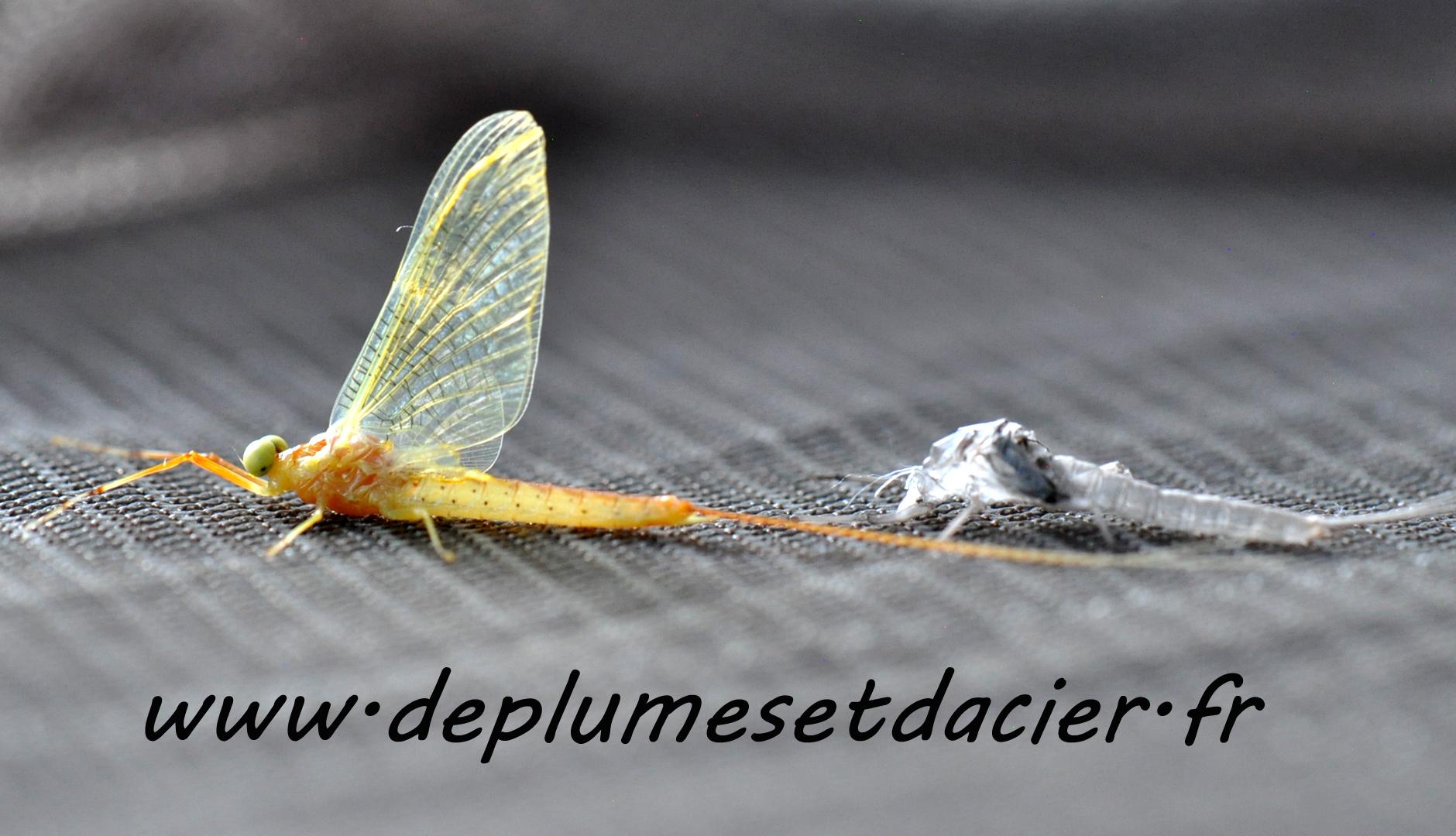 """Mouche pêche """"De plumes et d'acier"""" Potamanthus Luteus Imago Mâle"""