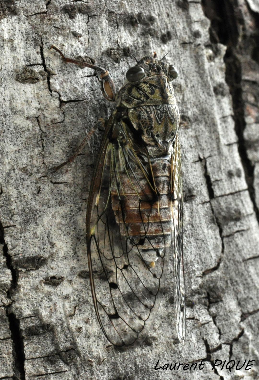 """Mouche pêche """"De plumes et d'acier""""Cicada Orni"""