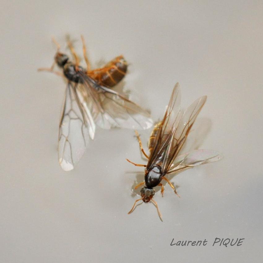 """Mouche pêche """"De plumes et d'acier""""Lasius Flavus"""
