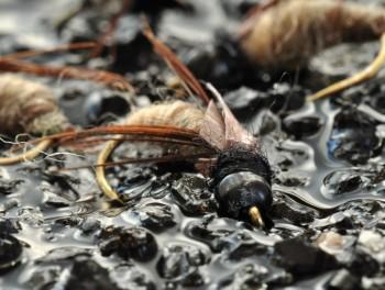 Nymphe lestée de Trichoptère